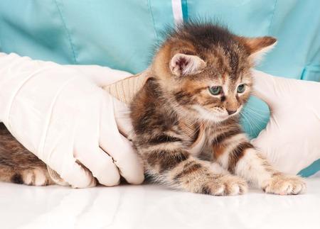 derivation: Cute little kitten on survey at the veterinarian close-up
