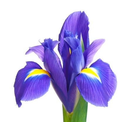 Beautiful light-blue iris isolated on white background close-up photo