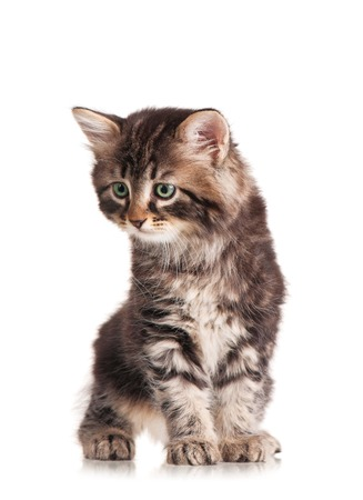 meanness: Caution cute siberian kitten isolated on white background