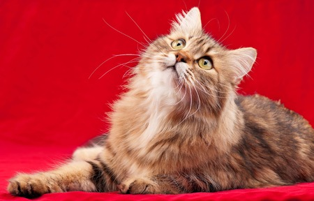 Siberian beautiful adult cat over red background