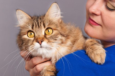 Adult beautiful siberian cat on the young womans hands over grey background Stock Photo