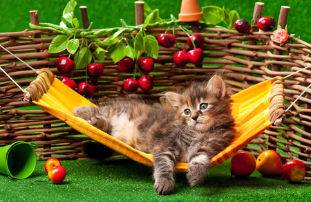 wattle: Cute fluffy kitten on the hammock over wattle fence background