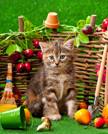 Siberian kitten sitting on the bright artificial grass over decorative wattle fence background Stock Photo