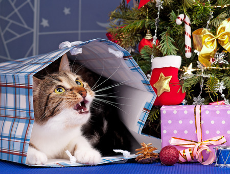 Adult tabby in the gift package near Christmas spruce with gifts and toys over blue background photo