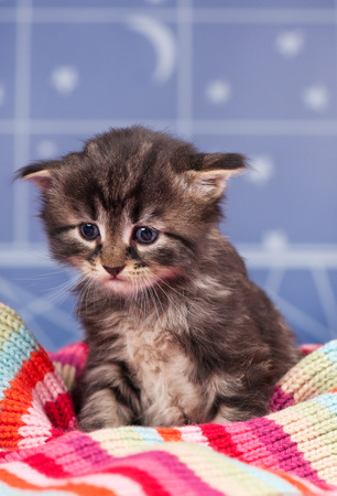 Sad siberian kitten in a warm knitted scarf over light blue background