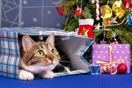 Adult tabby near Christmas spruce with gifts and toys over blue background Imagens