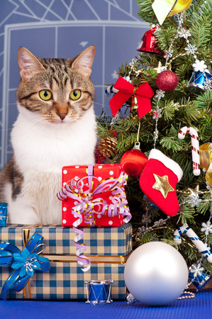Adult tabby near Christmas spruce with gifts and toys over blue background photo