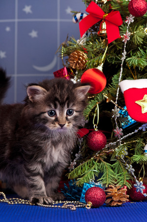 christmas pussy: Cute fluffy kitten near Christmas spruce with gifts and toys