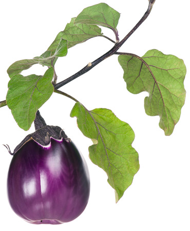 Fresh purple aubergine on a branch isolated on white background Фото со стока
