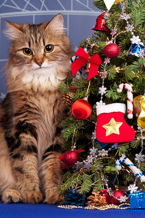 Beautiful siberian cat near Christmas spruce with gifts and toys over blue background photo