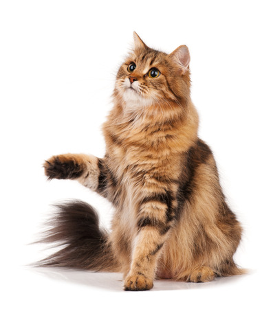 cute pussy: Siberian beautiful adult cat over white background