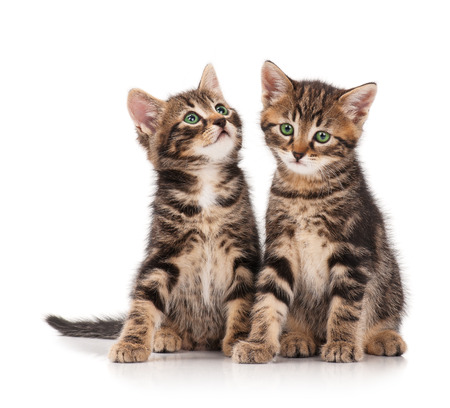 Two serious cute kittens isolated on white background cutout photo