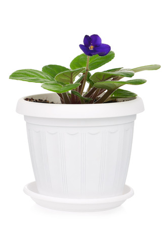 asterids: Saintpaulia violet in a flowerpot isolated on white background Stock Photo