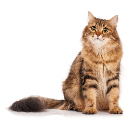 Siberian beautiful adult cat over white background