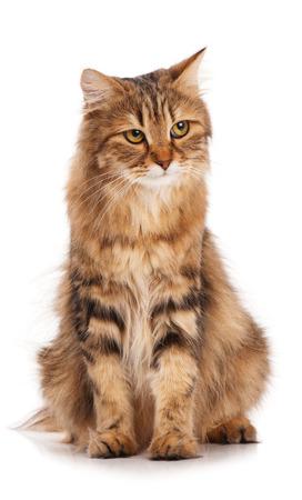 Sad siberian beautiful adult cat over white background Stock Photo