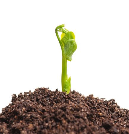 Young sprout of green peas on the organic soil over white background