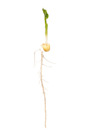 sprouted: Sprouted yellow pea with dirty roots isolated on white background cutout Stock Photo