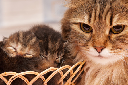 mammy: Lovely siberian cat with newborn kitten close-up Stock Photo