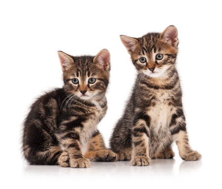 cute kittens: Two serious cute kittens isolated on white background cutout