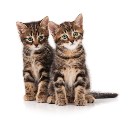 두 개의 심각한 귀여운 새끼 고양이 흰색 배경에 고립. 첫 번째 것에 집중하십시오.