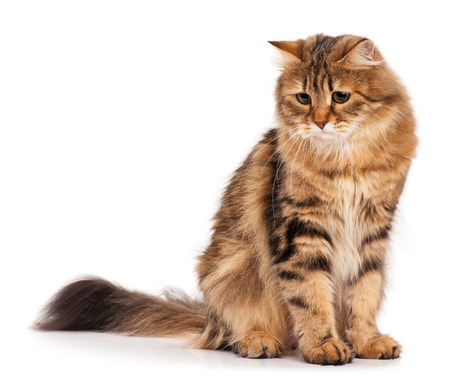 cute pussy: Sad siberian beautiful adult cat over white background Stock Photo