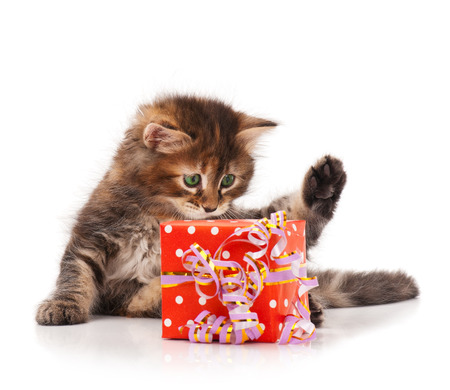 giftbox: Cute little siberian kitten with gift-box isolated on white background