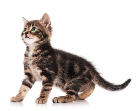 Cute kitten standing profile side view over white background cutout