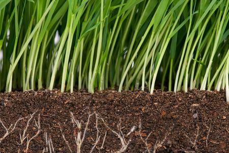 유기 토양에 뿌리를 가진 밝은 녹색 잔디. 뿌리에 초점