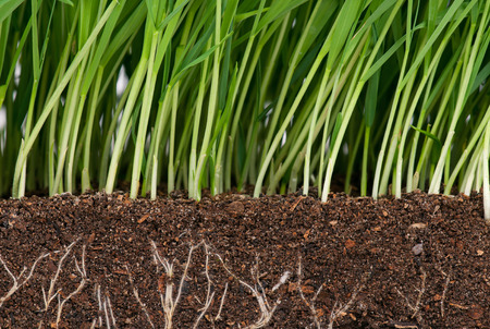 grass: Bright green grass with roots in the organic soil. Focus on the roots
