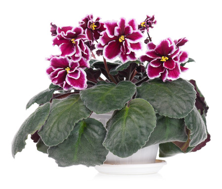 claret: Beautiful claret with white violet flowers over leaves background