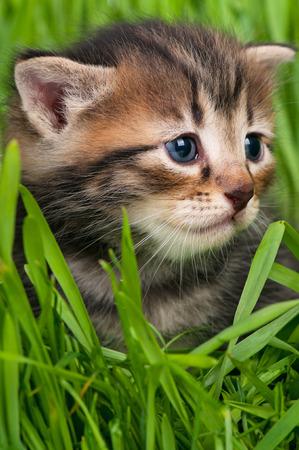 Cute siberian kitten over bright green grass background