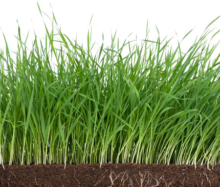 grass roots: Bright green grass with roots in the organic soil. Focus on the roots