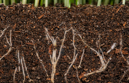 grass roots: White young roots of the green grass in the organic soil. Focus on the roots