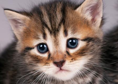 sorry: Sad small siberian kitten over grey background close-up Stock Photo
