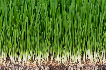 grass roots: Bright juicy green grass with roots in the organic soil Stock Photo