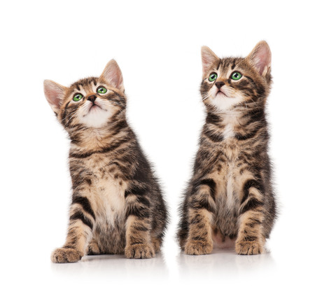 Two serious cute kittens isolated on white background photo