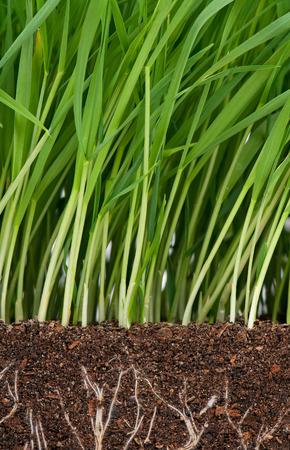 유기 토양에 뿌리가있는 밝은 녹색 잔디