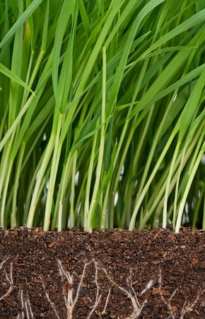 Bright green grass with roots in the organic soil