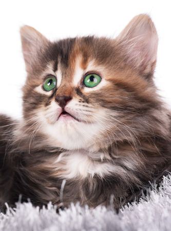 cute pussy: Cute little siberian kitten on a warm knitted scarf over white background Stock Photo