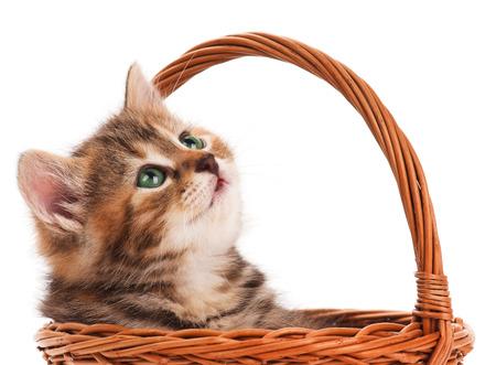 shape cub: Portrait of cute siberian kitten in a wicker basket over white background