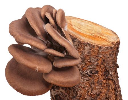lamellar: Oyster mushrooms on the tree stub isolated on white background