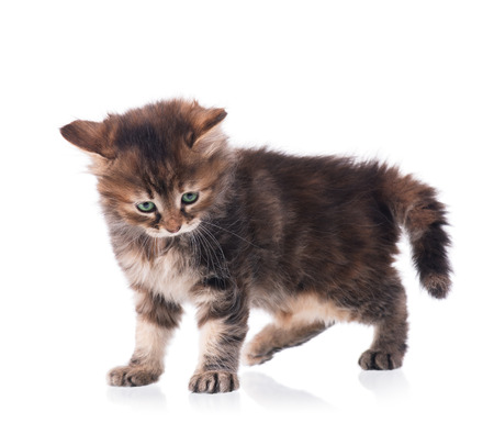 intrigue: Cute fluffy little kitten isolated on a white background