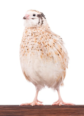 white perch: Cute adult quail on the perch isolated over white background
