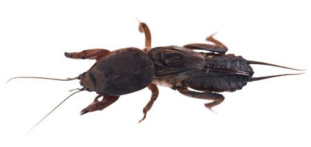 mole: Mole cricket isolated on white background cutout Stock Photo