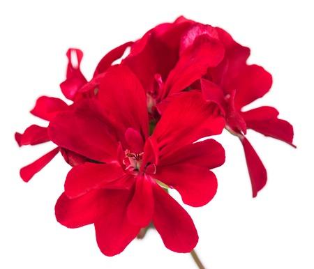 밝은 빨강 제라늄은 흰색에 고립 된