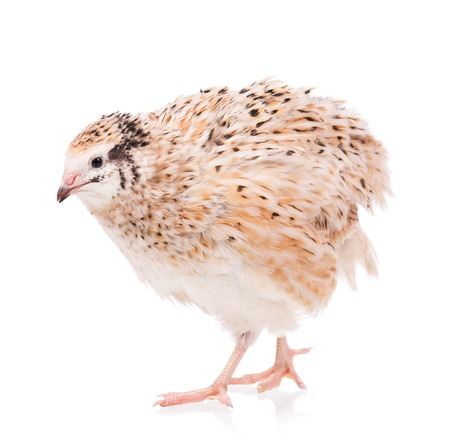 speckle: Cute adult quail isolated over white cutout