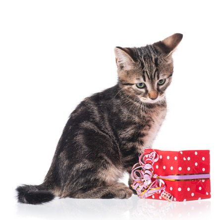 shape cub: Cute little siberian kitten with gift-box isolated on white