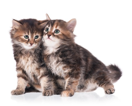 cute kittens: Two scared cute siberian kittens isolated on white