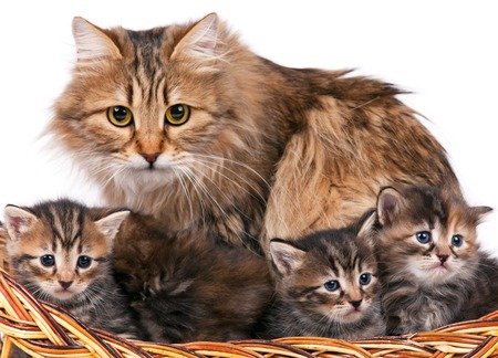 mammy: Cute siberian cat with little kittens isolated over white background Stock Photo