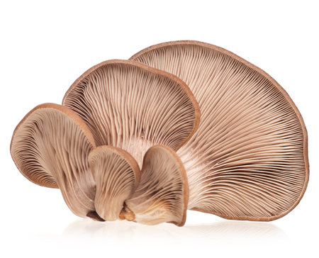 lamellar: Oyster mushrooms with lamellar fungus texture isolated on white